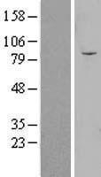 NBL1-13930 - OLFML2B Lysate