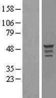 NBL1-13931 - OLFML3 Lysate