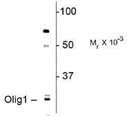 NBP1-28666 - OLIG1