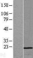 NBL1-13938 - OPA3 Lysate