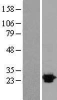 NBL1-13947 - OPRS1 Lysate