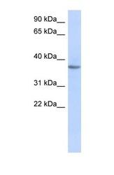 NBP1-59629 - Olfactory receptor 10X1