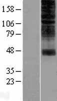 NBL1-13955 - OR2H1 Lysate