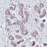 NBP1-92227 - Olfactory receptor 2W3