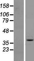 NBL1-13967 - OR6A2 Lysate