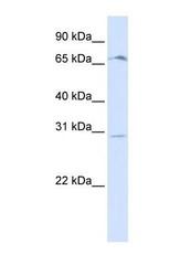 NBP1-59362 - Olfactory receptor 6C75