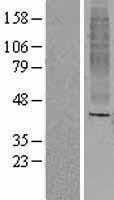 NBL1-13969 - OR8A1 Lysate