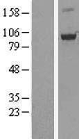 NBL1-13984 - OSBP1 Lysate