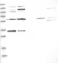 NBP1-81388 - OSBP2