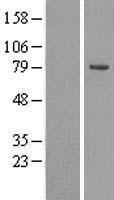 NBL1-13985 - OSBPL10 Lysate