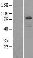 NBL1-13986 - OSBPL11 Lysate