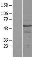 NBL1-13987 - OSBPL2 Lysate