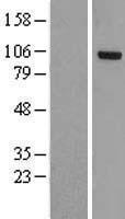 NBL1-13989 - OSBPL3 Lysate