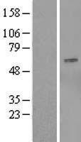 NBL1-13995 - OSBPL9 Lysate