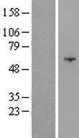 NBL1-13996 - OSBPL9 Lysate