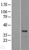 NBL1-13999 - OSGEP Lysate