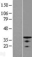 NBL1-14003 - OSR1 Lysate