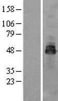 NBL1-14006 - OSTM1 Lysate