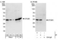 NBP1-49934 - Otubain-1 (OTUB1)