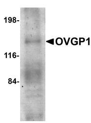 NBP1-76939 - Mucin-9