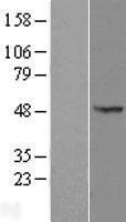 NBL1-14024 - OXSM Lysate