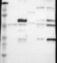 NBP1-87402 - Occludin