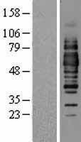 NBL1-13904 - Occludin Lysate