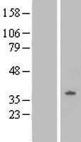 NBL1-13944 - Oprl1 Lysate