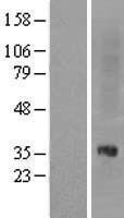 NBL1-13945 - Oprl1 Lysate