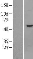 NBL1-13927 - Optimedin Lysate
