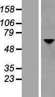 NBL1-13949 - Optineurin Lysate