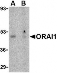 NBP1-76762 - ORAI1