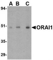 NBP1-77289 - ORAI1
