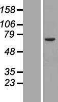 NBL1-13973 - Orc2 Lysate
