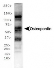 NB110-89062 - Osteopontin / SPP1