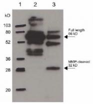 NB600-1043 - Osteopontin / SPP1