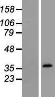 NBL1-16425 - Osteopontin Lysate