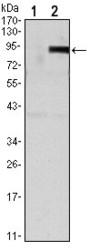 NBP1-51670 - Osteoprotegerin / TNFRSF11B