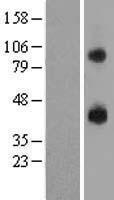 NBL1-14042 - P2RY14 Lysate