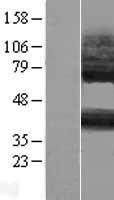 NBL1-14043 - P2RY14 Lysate