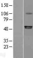 NBL1-14032 - P2X6 Lysate