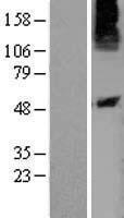 NBL1-14035 - P2Y10 Lysate