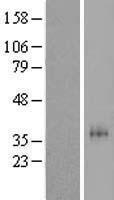 NBL1-14037 - P2Y11 Lysate