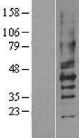 NBL1-14044 - P2Y2 Lysate