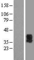 NBL1-14048 - P2Y6 Lysate