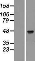 NBL1-14057 - PABPC5 Lysate