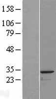 NBL1-14058 - PACRG Lysate