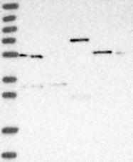 NBP1-87067 - PACSIN1