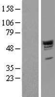 NBL1-14059 - PACSIN2 Lysate