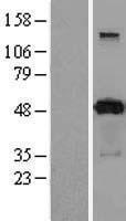 NBL1-14060 - PACSIN3 Lysate